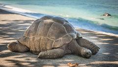 Aldabra-sköldpaddorna på Seychellerna kan bli över 1 meter hög.