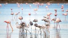 Flamingos i sjön vid Larnaca.