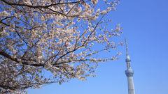 Se körsbärsträden blomstra i Tokyo i april.